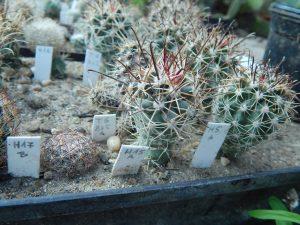 Sclerocactus parviflorus