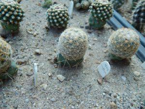 Pediocactus simpsonii
