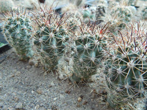 Sclerocactus parviflorus RP28