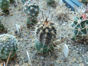 Austrocactus bertinii SAR4122