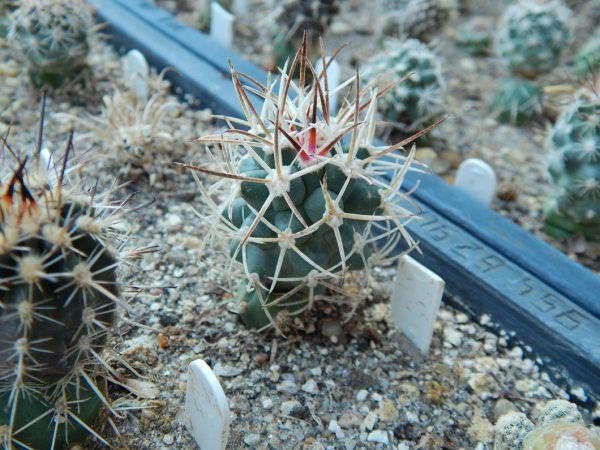Sclerocactus glaucus SB1749