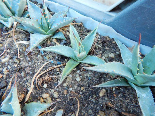 Agave utahensis ssp. utahensis