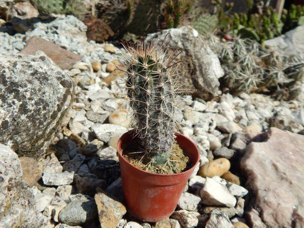 Austrocactus patagonicus