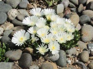 Delosperma White Nugget