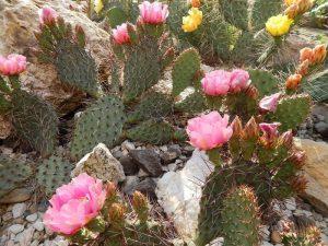Opuntia polyacantha v. rufispina (nagy)