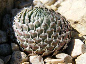 Orostachys thyrsiflorus - Mongól kőrózsa